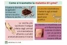 Malattia di Lyme: sintomi, cause, diagnosi e terapia della sindrome