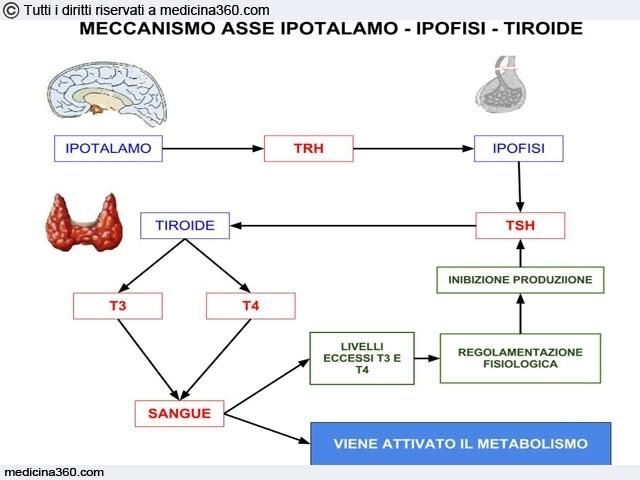 Meccanismo asse ipotalamo-ipofisi-tiroide