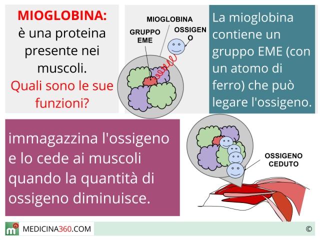Mioglobina: alta, bassa e valori normali. Cause e rischi